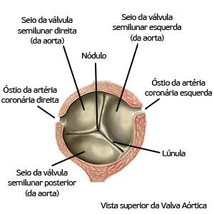 Anatomia Cardíaca Lucas Nicolau